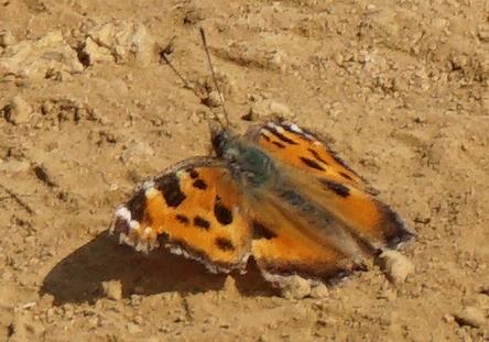 石砂山にギフチョウを見に行ってもっと大物に遭遇しました